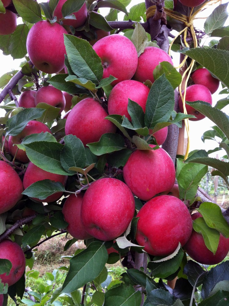 A bounty of fuji apples